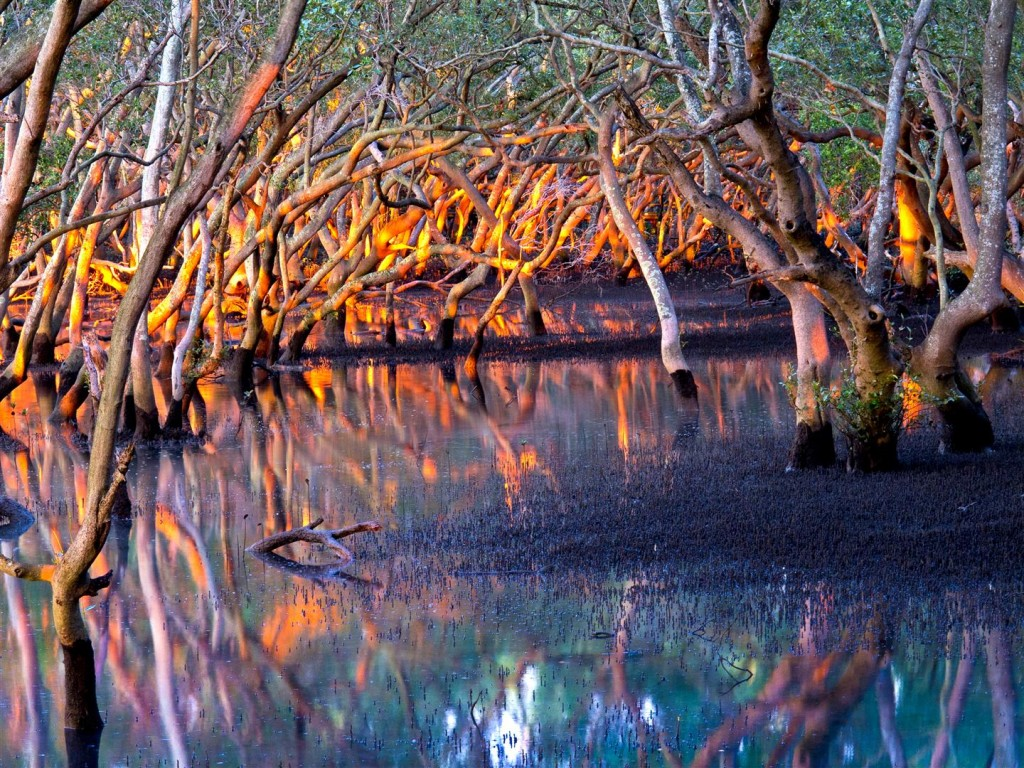 Mangroves at dawn, Wynnum North boardwalk