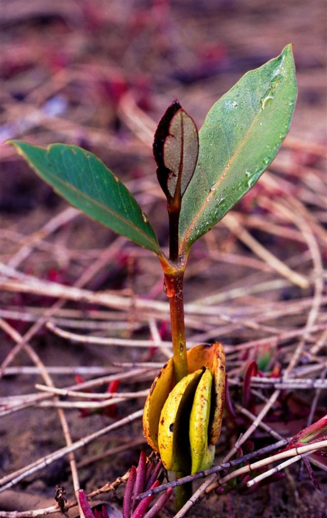 A grey mangrove seedling. Nearly 70 per cent of the prawns, crabs and fish we eat depend on the mangrove habitat for at least part of their lifecycle.