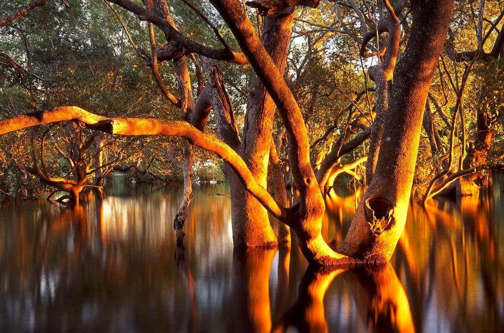 Grey Mangroves (Avicennia marina) at dawn, Lota, Brisbane.