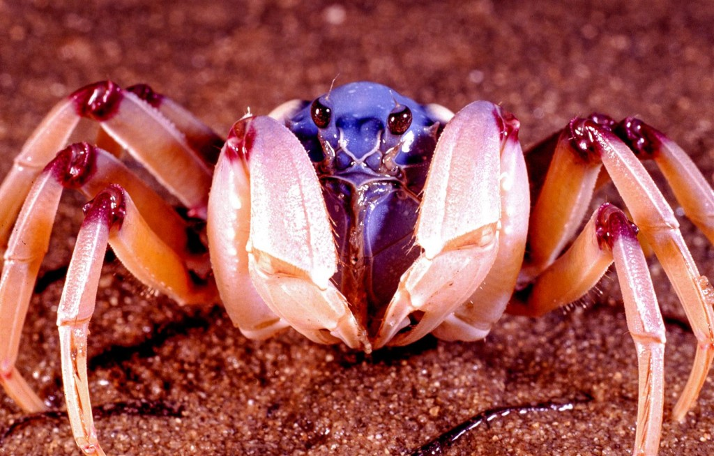 A Soldier Crab displays its maroon knees.