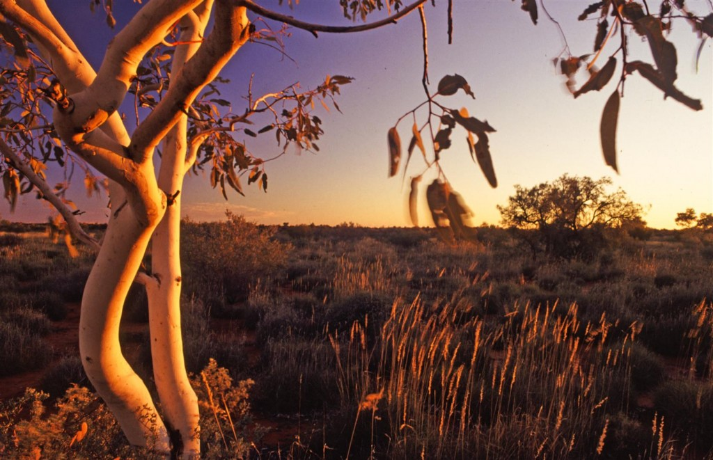 Ghost Gum and spinifex in afternoon light.