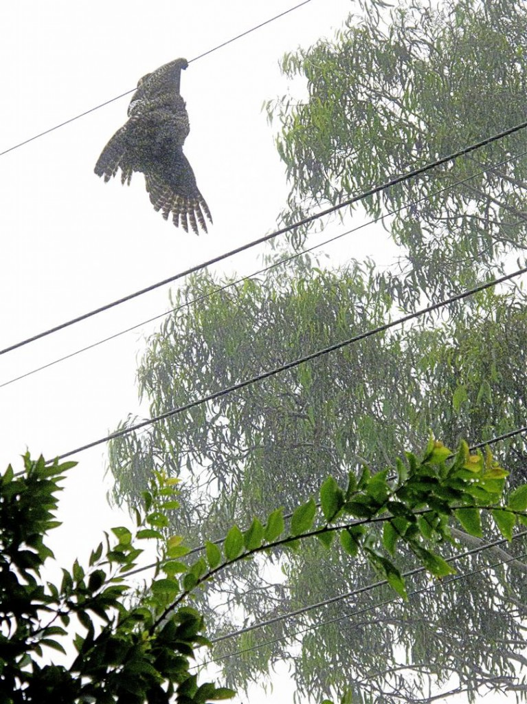 An electrocuted Powerful Owl hangs from wires, Prince Henry Drive, Toowoomba.