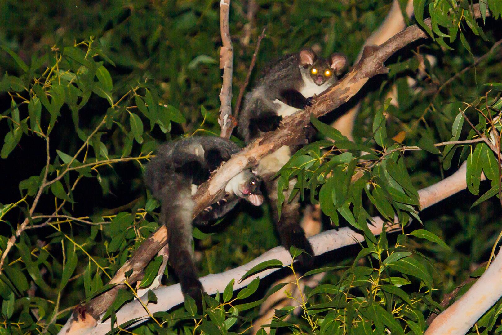 Yellow-bellied Gliders live in family groups comprising up to six individuals. With aerial glides of up to 100 metres, they cover great distances quickly; moving up to a kilometre from their regular den to feed.