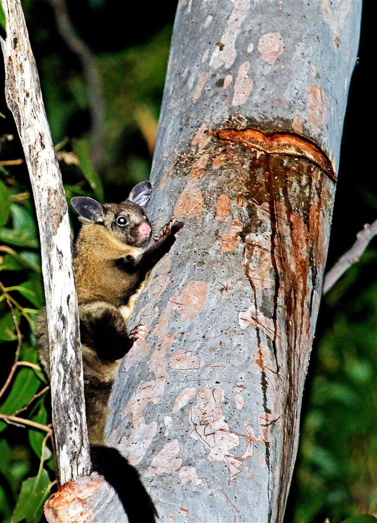 Yellow-bellied Gliders feed on insects, nectar and pollen. However, as these foods are seasonal and scarce, they rely on the year-round source of clear, sweet-tasting sap of eucalypts, which they obtain by making V-shaped incisions with their lower incisors into the trunk bark of a number of different species of tree.
